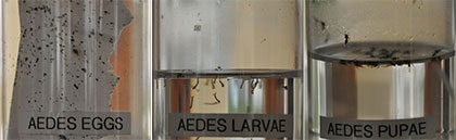 aedes-stages
